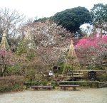プチハイキングの癒し! 日本庭園と梅を楽しめる百草園