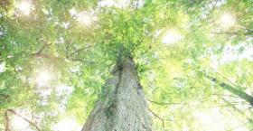 軸となる大木